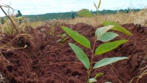 Conheça as várias opções de financiamento para o plantio de eucalipto no Brasil Foto: Painel Florestal