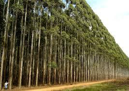 A madeira oriunda das florestas plantadas são a garantia de consumo em todas as cadeias produtivas