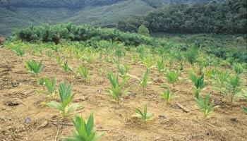Os solos mais adequados são os de textura média a arenosa, com boa drenagem. O corte do palmito pode ser feito durante o ano todo. Foto: Ernesto de Souza