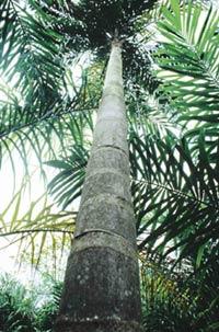 A pupunheira é cultivada principalmente em São Paulo. Foto: Ernesto de Souza