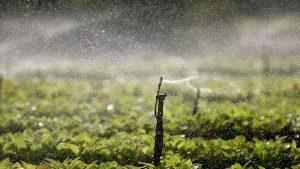 Mudas à pleno sol com irrigação automatizada